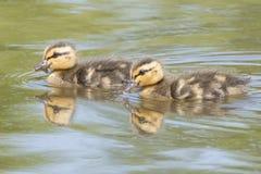 两只鸭子游泳 库存图片