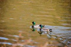 两只鸭子游泳 免版税图库摄影