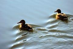 两只鸭子游泳 图库摄影
