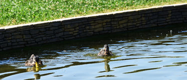 两只鸭子游泳 库存照片