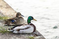 两只鸭子男性和女性休息在河附近 免版税库存照片