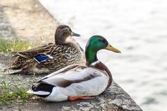 两只鸭子男性和女性休息在河附近 免版税库存图片