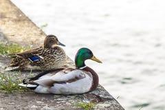 两只鸭子男性和女性休息在河附近 免版税图库摄影