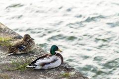 两只鸭子男性和女性休息在河附近 库存照片