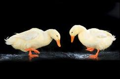 两只鸭子白色 免版税库存图片