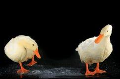 两只鸭子白色 免版税图库摄影