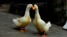 两只鸭子站立 免版税图库摄影