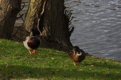 两只鸭子野鸭步行在阳光下在水` s边缘 法国 免版税库存图片
