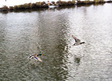 两只鸭子飞行 库存图片