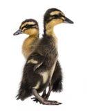 两只鸭子 库存图片