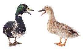 两只鸭子 免版税库存图片