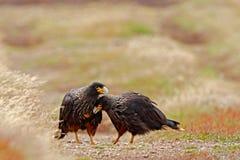 两只鸷Strieted长腿兀鹰,极光的Phalcoboenus,坐在草,福克兰群岛 动物行为 鸟爱我 免版税库存图片