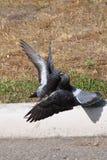 两只鸽子亲吻 免版税图库摄影