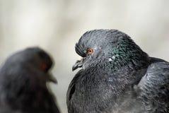 两只鸽子关闭  免版税库存照片