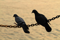 两只鸽子剪影在链串举行 免版税库存图片