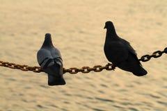 两只鸽子剪影在链串举行 免版税库存照片