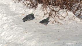两只鸽子咕咕叫在雪在春天 股票视频
