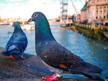 两只鸽子在伦敦 库存照片