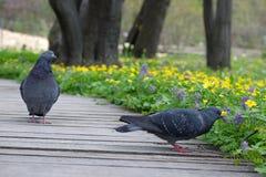 两只鸽子在公园 免版税库存照片