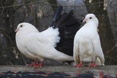两只鸽子在春天在公园坐篱芭 免版税库存图片