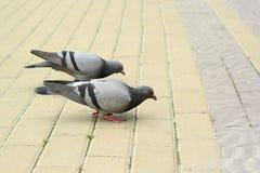 两只鸽子在pavemen吃着 库存图片