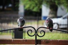 两只鸽子坐一条长凳在公园 库存图片