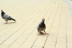 两只鸽子步行通过pavemen 免版税库存照片