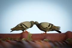 两只鸽子的图象在屋顶的 鸟,动物 免版税库存图片