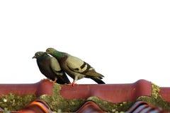 两只鸽子的图象在屋顶的 鸟,动物 库存图片