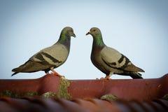 两只鸽子的图象在屋顶的 鸟,动物 免版税图库摄影