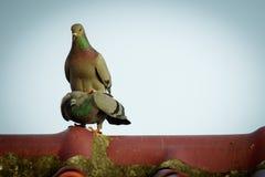 两只鸽子的图象在屋顶的 鸟,动物 免版税库存照片