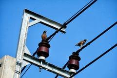 两只鸽子鸟在与cleary蓝天,水平的射击的电缆导线站立 免版税库存照片