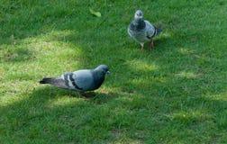 两只鸽子鸟在公园 库存照片