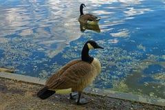 两只鹅在水附近花费时间在公园 图库摄影