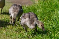 两只鹅雏鸟 免版税库存照片