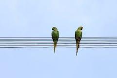 两只鹦鹉坐电线 图库摄影