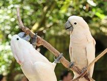 两只鹦鹉 免版税图库摄影