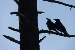 两只黑乌鸦拥抱在隧道视图,优胜美地国家公园, C 库存图片