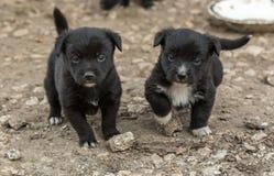 两只黑小狗 库存照片