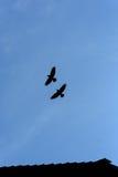 两只黑乌鸦飞行 免版税库存照片