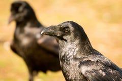 两只黑乌鸦 图库摄影