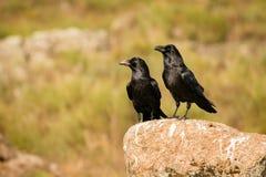 两只黑乌鸦 库存照片