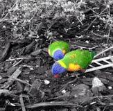 两只令人惊讶的美丽的鸟 库存照片