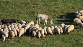 两只驴和绵羊在草甸 免版税库存图片