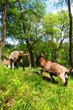 两只年轻国内白色山羊战斗 免版税图库摄影