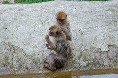 两只猴子在第比利斯动物园,动物世界里  库存图片