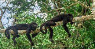 两只猴子坐在雨林的一棵树蒂卡尔-危地马拉 免版税库存图片