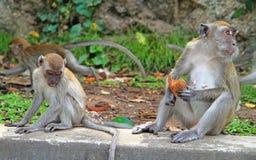 两只猴子坐混凝土,巴图洞 库存照片