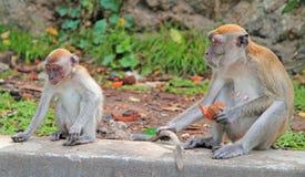 两只猴子坐混凝土,巴图洞 图库摄影