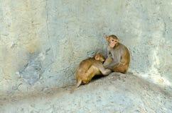 两只猴子开会 库存照片